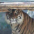 Tiger @ Taraonga Zoo Sydney by porky84