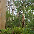 Forest of Karri Trees by pennyswork