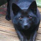 Foxy by Linda Costello Hinchey