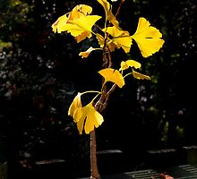 ginko autumn bonsai by Ilapin