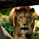 Mamma Lion by Alan Mattison