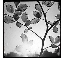 Sun through Leaves Photographic Print