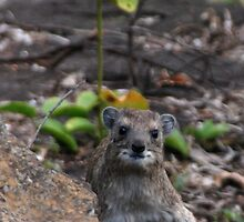 Startled Rock Hyrax by daisymae