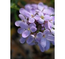 Lavender Glory Photographic Print