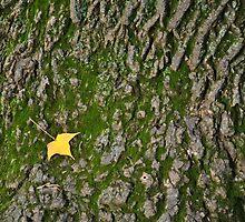 Maple Leaf by jaeepathak