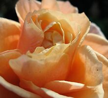 Nestling Nectarine Petals by MarianBendeth