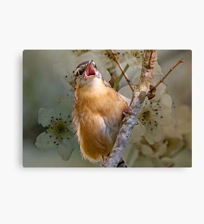 Carolina Wren in Full-Throated Song Canvas Print
