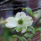 Dogwood of My Past by murrstevens