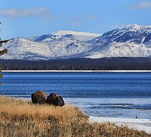 Bison at Yellowstone Lake, Yellowstone N.P. by Ann  Van Breemen