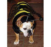 Bulldog Bumble Bee Photographic Print