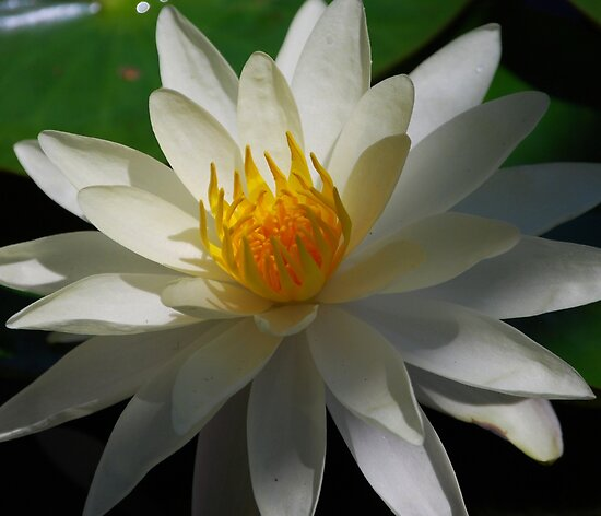 Water Lily by Ron Hannah