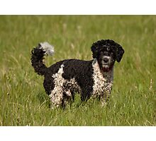Springer Spaniel Poodle Cross (Sproodle)  Photographic Print