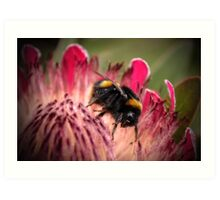 Bee in Protea #2 Art Print