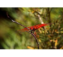 Bottom of The Food Chain - Flame Skimmer Photographic Print