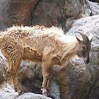 Goat by wheelyawheely