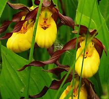 Small Yellow Lady's Slipper Orchids by lorilee
