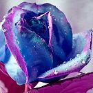 Blue Rose by Greig Nicholson