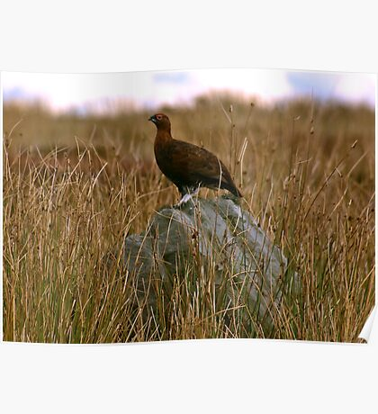 Rock Grouse Poster
