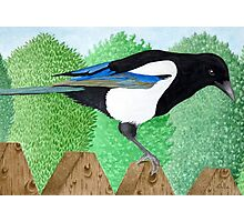 A Magpie perched on a fence Photographic Print