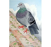 A Pigeon at rest on a rooftop Photographic Print