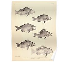 The fishes of India by Francis Day 012 - Lutianus Johnii, Gubbus adult, Gubbus young, L Buhar, L Marginatus, L Yapilli Poster