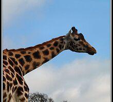 Gentle giant - Rothschild Giraffe  by Neil Clarke