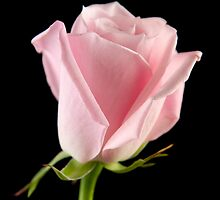 Single Pink Rose by C5Photography