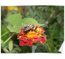 bumble bee and marigold Poster
