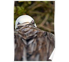 Nesting Pelican - One eye open Poster