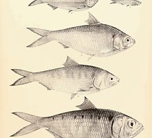 The fishes of India by Francis Day 162 - Clupea lile Corica soborna Ilisha Tridia by wetdryvac