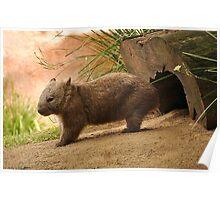 Standing wombat Poster