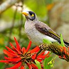A beautiful world- noisy mynah and flame tree by bobbyverrills