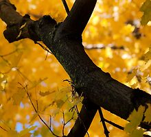 Yellow Maple Leaves by SuzOH