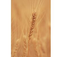 Harvest The Gold Photographic Print