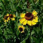 Sneezeweed - High Sierra Trail - Sequoia National Park by Rebecca Sowards-Emmerd