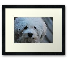 Jak the Bichon Framed Print
