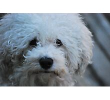 Jak the Bichon Photographic Print