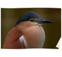 Nankeen Night Heron Poster