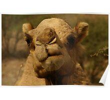 Emirates Camel II Poster