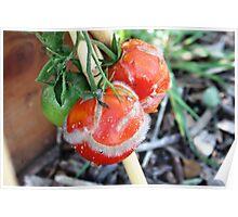 Tomato past harvest Poster