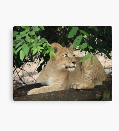 Alert lion cub Canvas Print