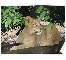 Alert lion cub Poster