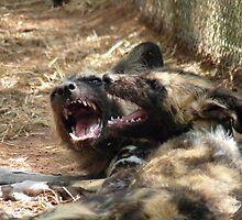 African Wild Dogs by nikivandersmagt