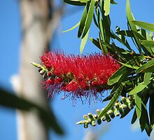 Callistemon bottlebrush by Robert Jenner