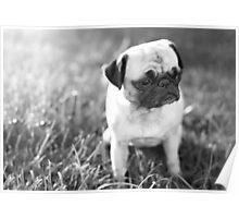 Sad Sunset Pug Poster
