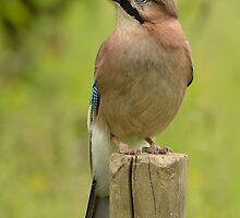 Eurasian Jay by Peter Wiggerman