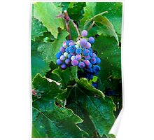 Grapes and Leaves, Sonoma Wine Country Poster