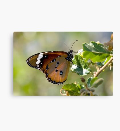 African Monarch Butterfly Canvas Print