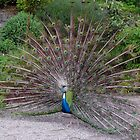 Peacock, full tail. (photo) by Woodie