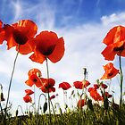 red poppies by nordvil
